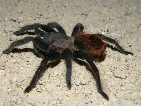 Tarantula B Vagans mexican rump brachypelma vagans care sheet keeping pets