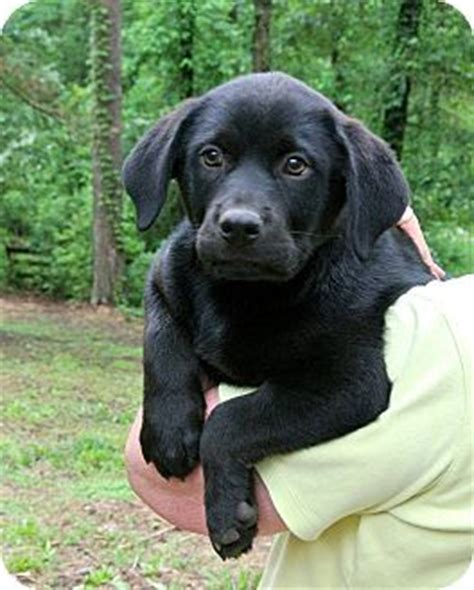 rottweiler labrador retriever mix adopted puppy groton ma rottweiler labrador retriever mix
