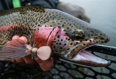 mouse pattern brown trout trout food