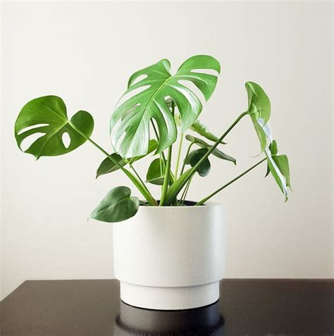 coole zimmerpflanzen 82 best cool indoor plants images on cool