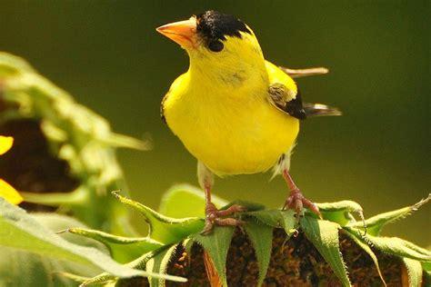 how to harvest sunflower seeds for birds