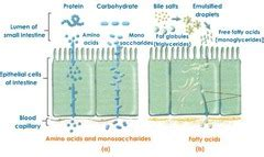 3 carbohydrates absorbed by epithelial cell combo with mcat bio 6 10 flashcards quizlet