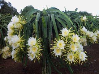 Daia Bunga Kemasan Baru 1 8 Kg bangun tani bangun bangsa