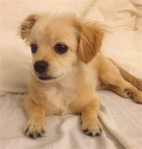 min pin shih tzu miniature pinscher shih tzu hybrid dogs breeds picture