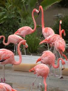 pink flamingos 1001archives why are flamingos pink