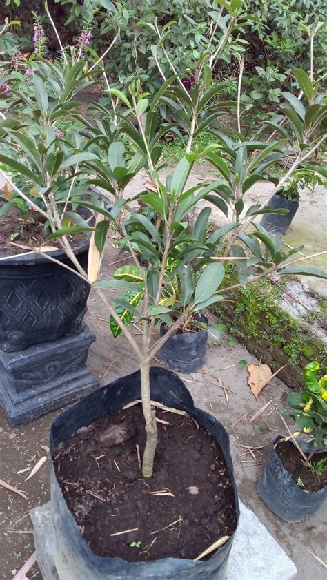 Jual Bibit Pohon Buah Di Bandung bibit tanaman buah sawo jumbo anget anget