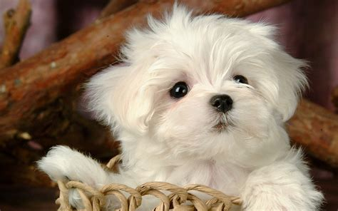 white maltese puppy fluffy maltese puppy dogs white puppies wallpapers 19201200 pictures
