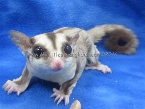 color exles sugar glider colors mosaic the best picture sugar and