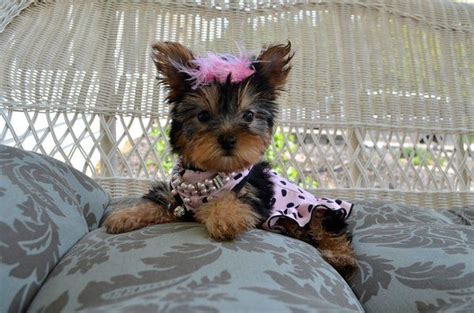tiny teacup yorkies for sale in kentucky 1000 images about tiny yorkie puppies for sale on puppies for sale