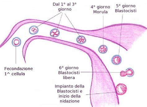 eisprung wann befruchtung 2 176 settimana di gravidanza foto e consigli su