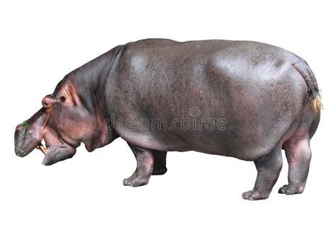 Hippo White hippo on white background stock photo image of botswana