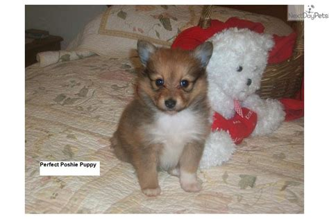 pomeranian puppies for sale in greenville sc pumpkin pomeranian puppy for sale near greenville upstate south carolina