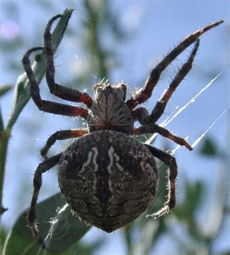 Garden Spider Markings Steve S Spider Pics Tear Drop