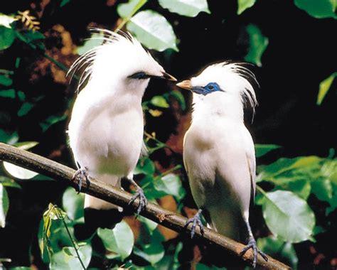 download film dokumenter flora dan fauna jalak bali nyaris punah di habitat asli alamendah s blog