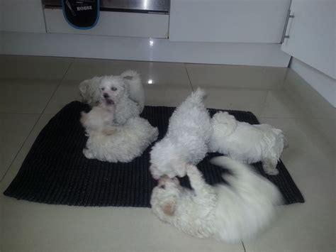 maltese bichon puppies for sale bichon frise x maltese puppies for sale milton keynes buckinghamshire pets4homes