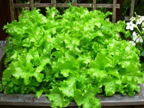 how to grow lettuce outside the garden of eaden
