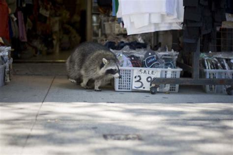 kills raccoon dogs and cats at risk as epidemic kills raccoons toronto