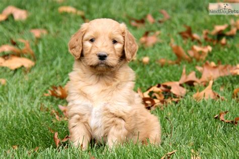 goldendoodle puppies near me goldendoodle puppy for sale near lancaster pennsylvania f113441f db11