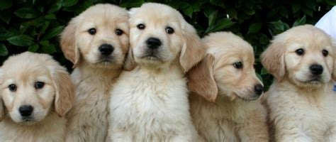 pacific golden retrievers northwest goldens a reputable breeder of golden retriever puppies in the pacific