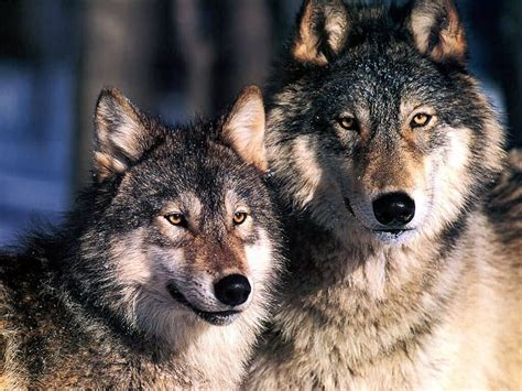 wolf s national geographic images grey wolves hd wallpaper and