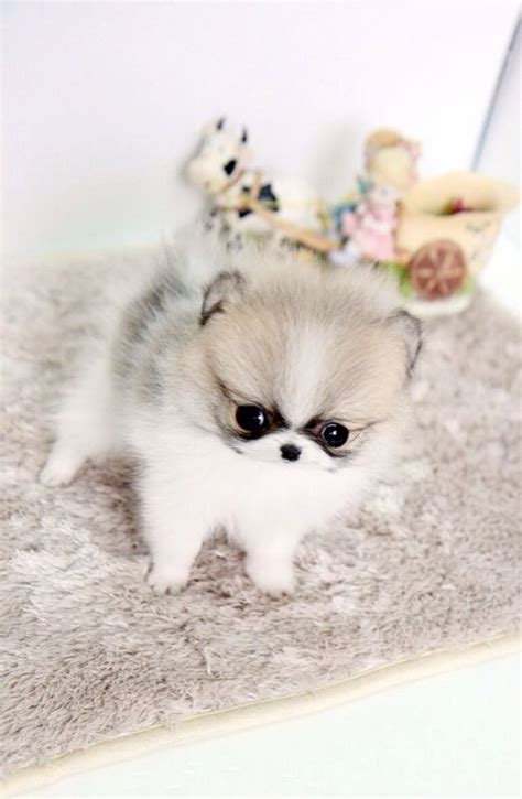 Do Teacup Pomeranians Shed by Omg This Color Is So Give Me Plzzzz