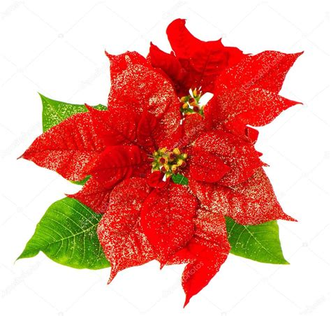 google images poinsettia red poinsettia blossomwith green leaves stock photo