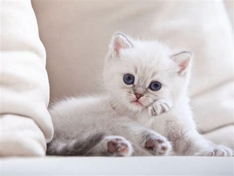 fluffy white white fluffy baby kitten www imgkid the image kid has it