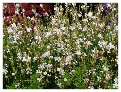late flowering shrubs uk perennials jayne anthony garden design