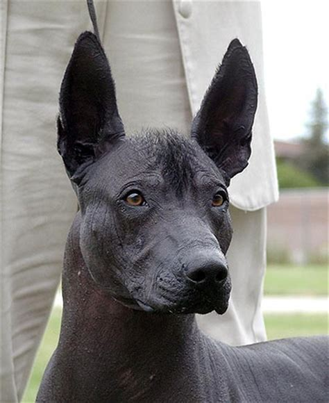 mexican hairless puppies mexican hairless xoloitzcuintli breed information history health pictures