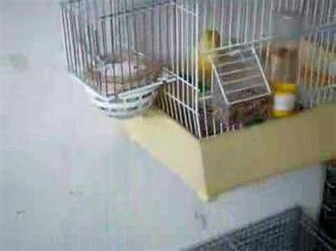 accoppiamento cardellini in gabbia voliera con cardellini e canarini