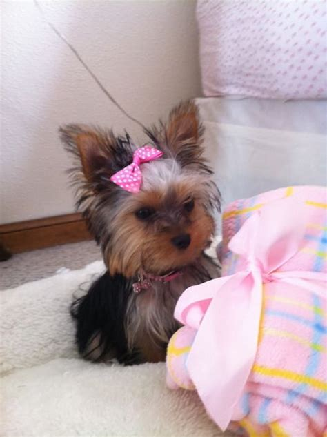 how many pups do yorkies usually 25 best ideas about yorkie puppies on teacup yorkie teacup terrier and