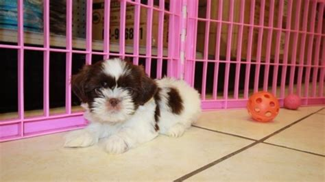 teacup shih tzu puppies for sale in ga handsome teacup chocolate shih tzu puppies for sale in atlanta at puppies for sale
