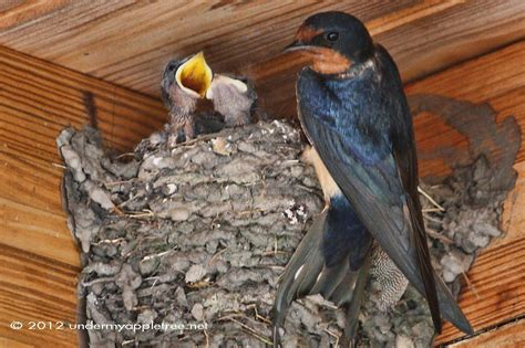 animal facts barn swallow