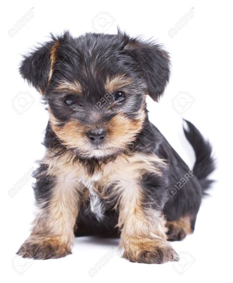 cutest yorkie 50 terrier puppy pictures and photos
