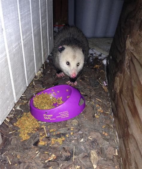 possum in my backyard opossum in my yard cats in my yard