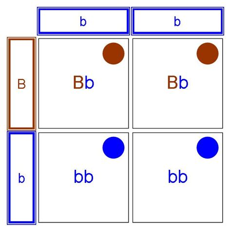 punnett square for eye color genotype and phenotype worksheet abitlikethis