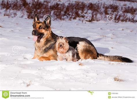 german shepherd and yorkie german shepherd with terrier royalty free stock photo image 37651955