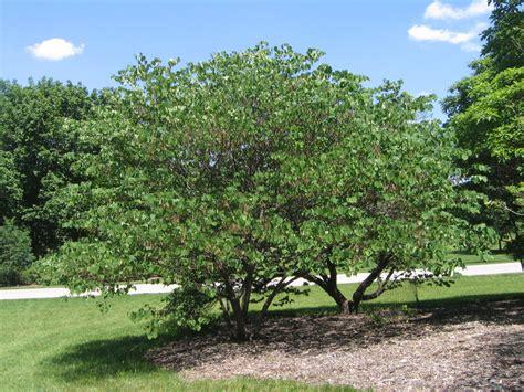 cercis canadensis redbud tree gallery