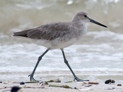 willet identification all about birds cornell lab of