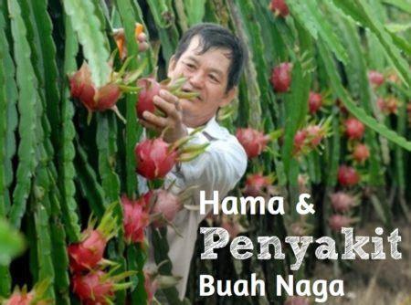 Bibit Buah Naga Busuk 18 hama dan penyakit buah naga menurut ipb cara mengatasi