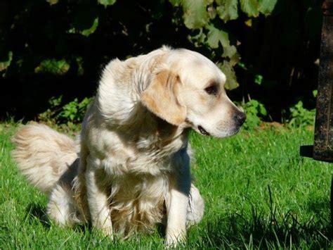 golden retriever freedom peace plenty freedom ride chien de race toutes races en tous departements