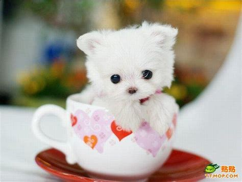 cutest teacup puppies teacup puppies