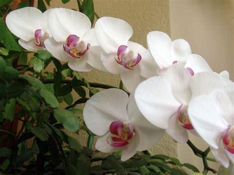 cura delle orchidee in appartamento come coltivare orchidee piante appartamento come