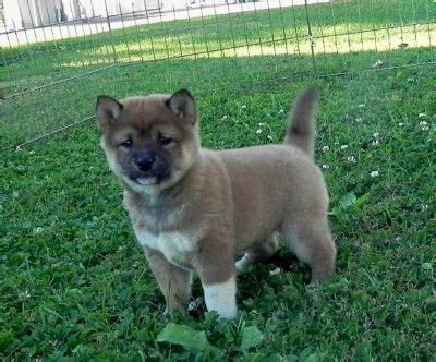shiba inu puppies wisconsin best 25 shiba inu breeders ideas on akita inu puppy shiba inu and shiba