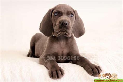 weimaraner in appartamento weimaraner cuccioli in vendita breeds picture