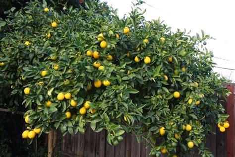 parassiti limone in vaso limone citrus limon citrus limon piante da giardino