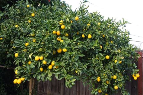 limone vaso limone citrus limon citrus limon piante da giardino