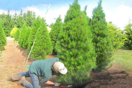 choose and cut trees in illinois tree choose and wrap tree farm