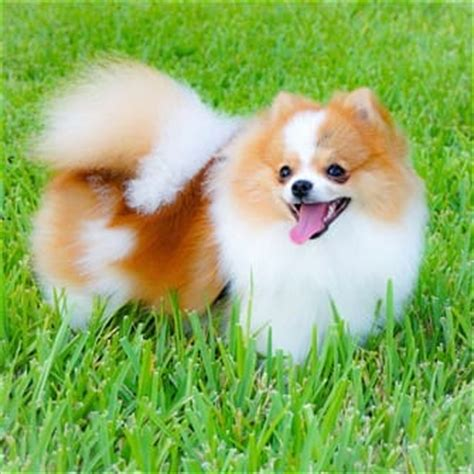 pomeranian symptoms pomeranian health issues pomeranian information center