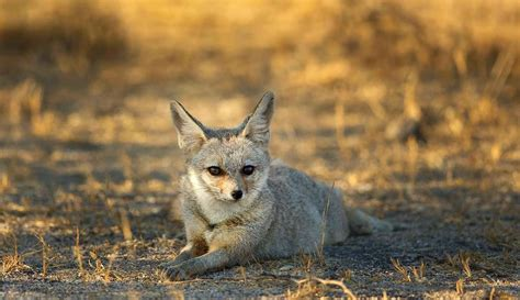 Inidia Cat 44 haunted india chir batti in banni grasslands rann of
